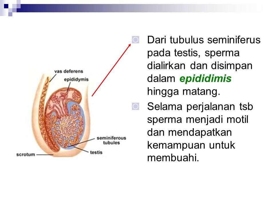 ◙ Dari tubulus seminiferus pada testis, sperma dialirkan dan disimpan dalam epididimis hingga matang. ◙ Selama perjalanan tsb sperma menjadi motil dan