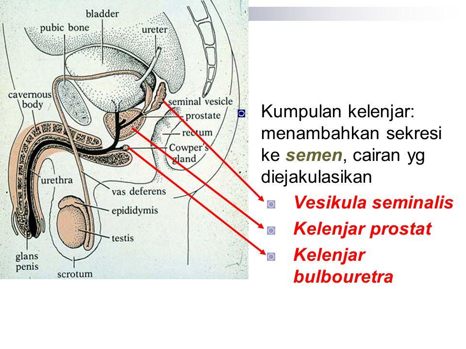 ◙ Kumpulan kelenjar: menambahkan sekresi ke semen, cairan yg diejakulasikan ◙ Vesikula seminalis ◙ Kelenjar prostat ◙ Kelenjar bulbouretra