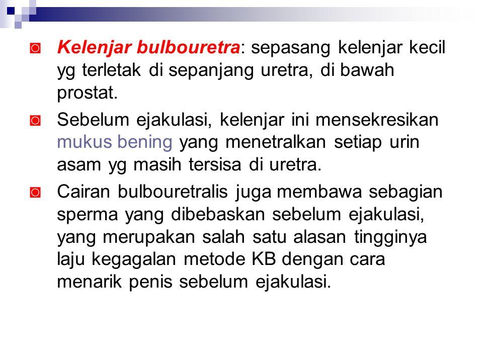 ◙ Kelenjar bulbouretra: sepasang kelenjar kecil yg terletak di sepanjang uretra, di bawah prostat. ◙ Sebelum ejakulasi, kelenjar ini mensekresikan muk