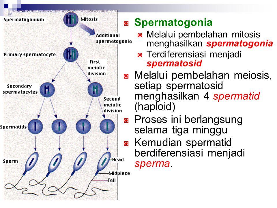 ◙ Spermatogonia ◙ Melalui pembelahan mitosis menghasilkan spermatogonia ◙ Terdiferensiasi menjadi spermatosid ◙ Melalui pembelahan meiosis, setiap spe
