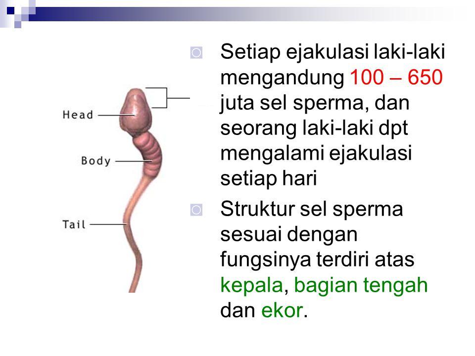 ◙ Setiap ejakulasi laki-laki mengandung 100 – 650 juta sel sperma, dan seorang laki-laki dpt mengalami ejakulasi setiap hari ◙ Struktur sel sperma ses