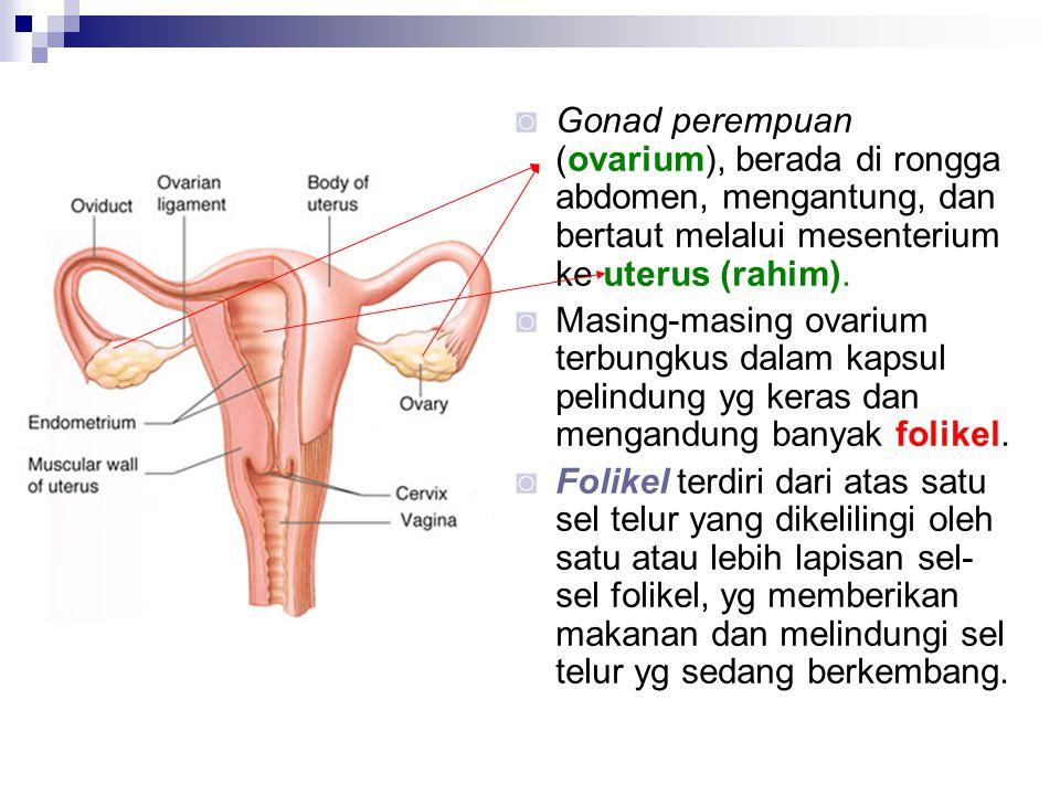 ◙ Gonad perempuan (ovarium), berada di rongga abdomen, mengantung, dan bertaut melalui mesenterium ke uterus (rahim). ◙ Masing-masing ovarium terbungk
