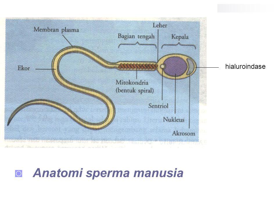 ◙ Anatomi sperma manusia hialuroindase