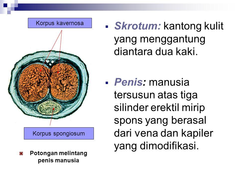  Skrotum: kantong kulit yang menggantung diantara dua kaki.  Penis: manusia tersusun atas tiga silinder erektil mirip spons yang berasal dari vena d