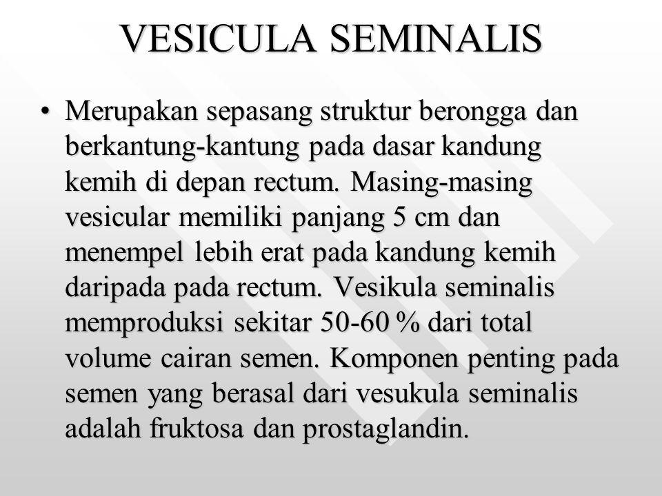 VESICULA SEMINALIS Merupakan sepasang struktur berongga dan berkantung-kantung pada dasar kandung kemih di depan rectum. Masing-masing vesicular memil