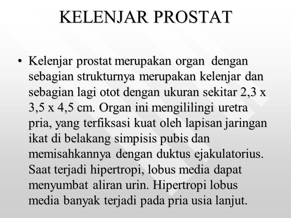 KELENJAR PROSTAT Kelenjar prostat merupakan organ dengan sebagian strukturnya merupakan kelenjar dan sebagian lagi otot dengan ukuran sekitar 2,3 x 3,