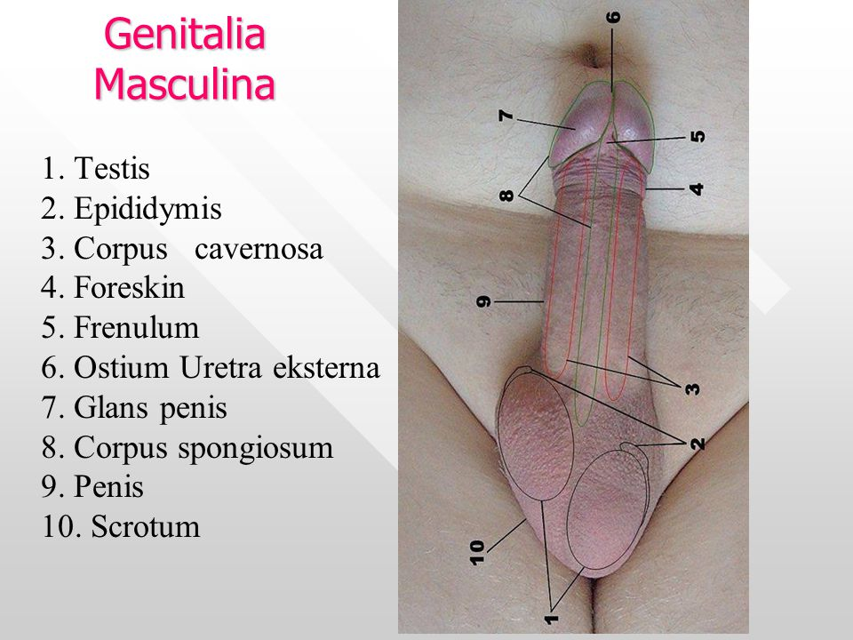 1. Testis 2. Epididymis 3. Corpus cavernosa 4. Foreskin 5. Frenulum 6. Ostium Uretra eksterna 7. Glans penis 8. Corpus spongiosum 9. Penis 10. Scrotum