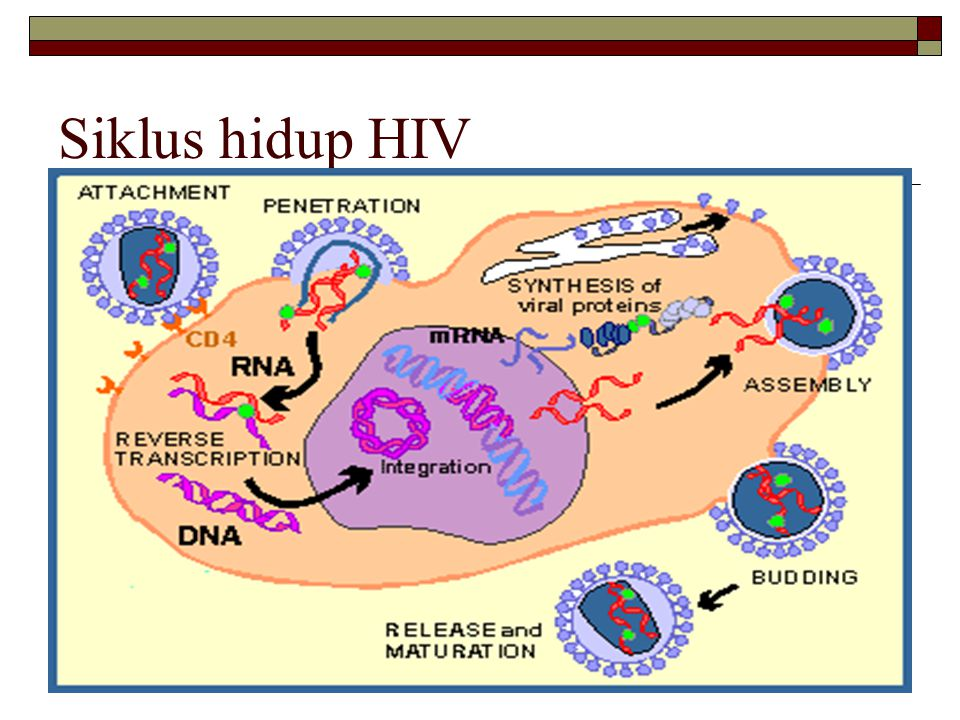 Jenis Anti Retroviral (ARV)  Nucleoside reverse transcriptase inhibitors (NRTI)  Non-nucleoside reverse transcriptase inhibitors (NNRTI)  Protease inhibitors (PI)