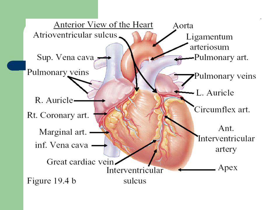 FISIK DIAGNOSTIK JANTUNG DAN AORTA Proyeksi jantung pada permukaan dada : Atrium kanan.