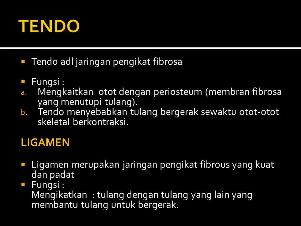  Tendo adl jaringan pengikat fibrosa  Fungsi : a.