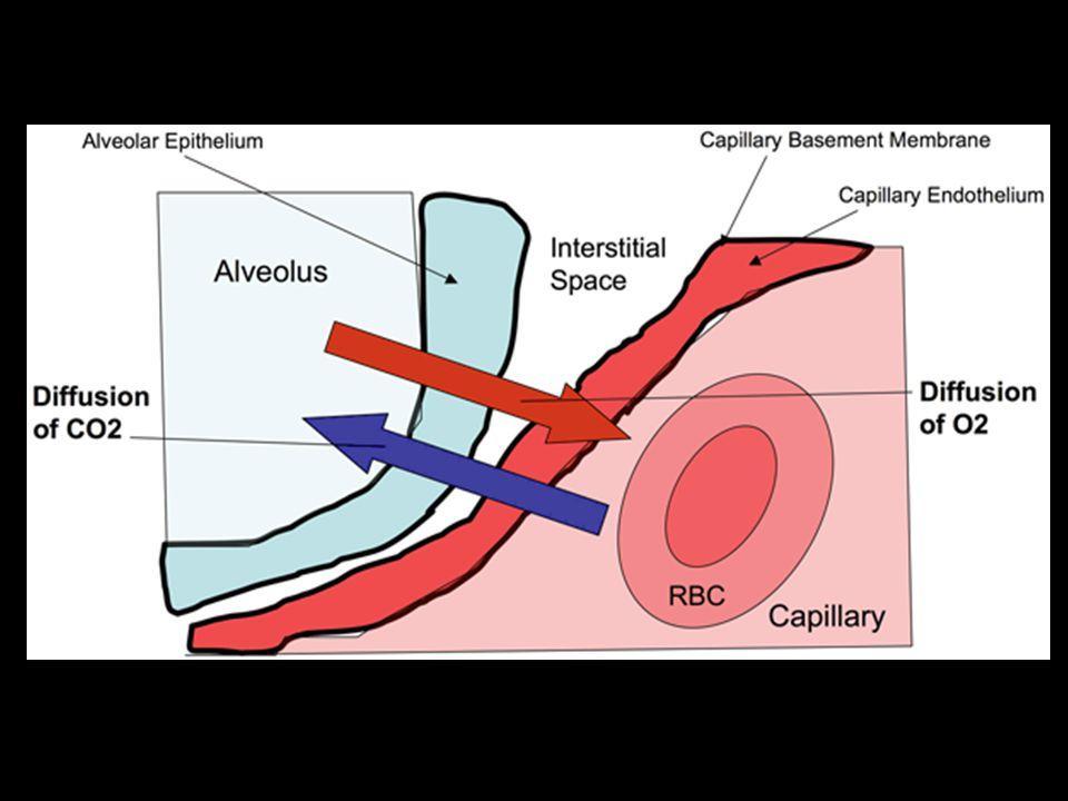 PERFUSI Distribusi darah di paru Dalam 1 menit darah mengalir 5 liter