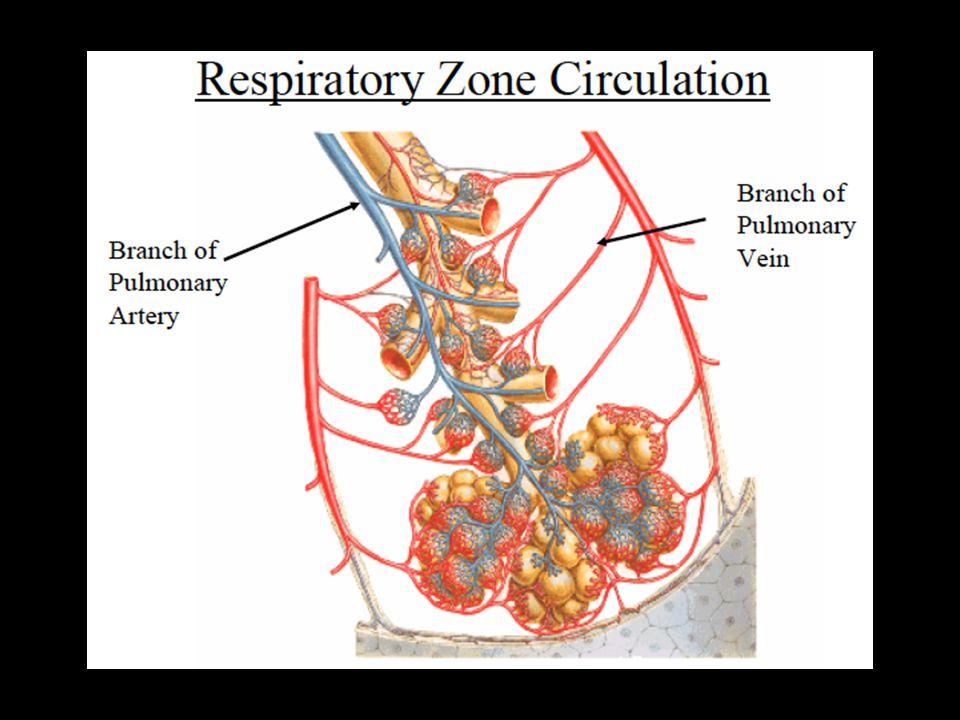Sistem Pernapasan :  Susunan saraf pusat (medulla)  Sistem saraf perifer (phrenic nerve)  Otot-otot pernapasan  Dinding dada  Paru  Jalan napas atas  Bronkus dan cabang2-nya  Alveoli  Pembuluh darah pulmoner