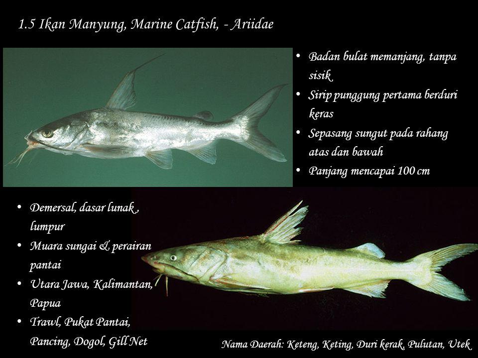 1.5 Ikan Manyung, Marine Catfish, - Ariidae Nama Daerah: Keteng, Keting, Duri kerak, Pulutan, Utek Badan bulat memanjang, tanpa sisik Sirip punggung p
