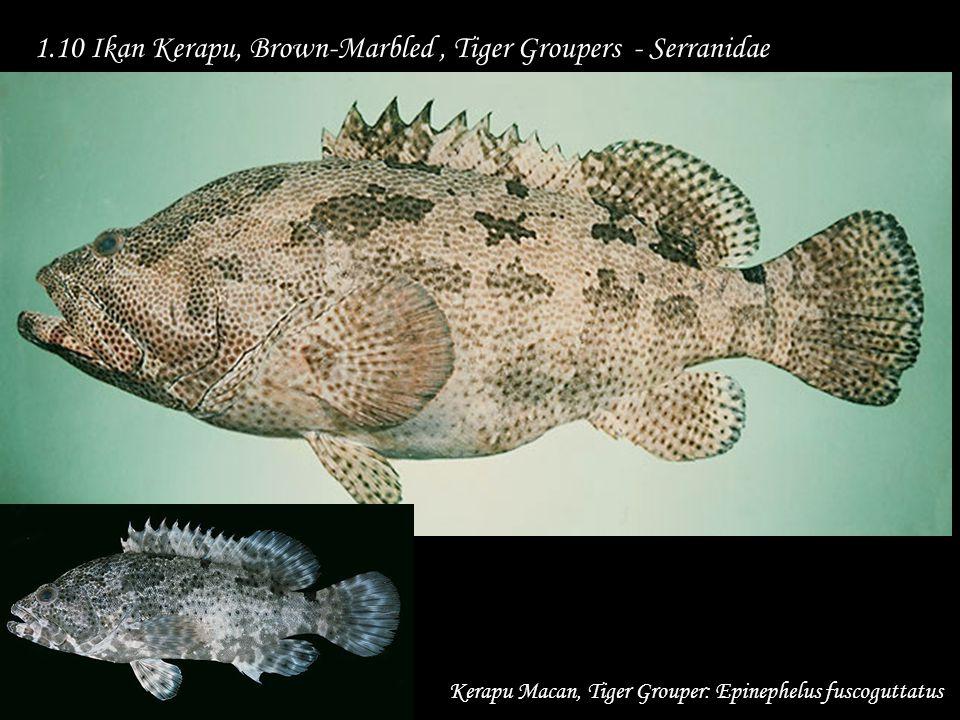 1.10 Ikan Kerapu, Brown-Marbled, Tiger Groupers - Serranidae Kerapu Macan, Tiger Grouper: Epinephelus fuscoguttatus