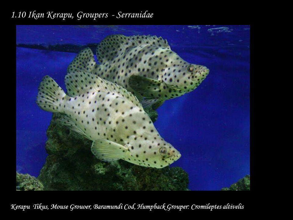 1.10 Ikan Kerapu, Groupers - Serranidae Kerapu Tikus, Mouse Grouoer, Baramundi Cod, Humpback Grouper: Cromileptes altivelis