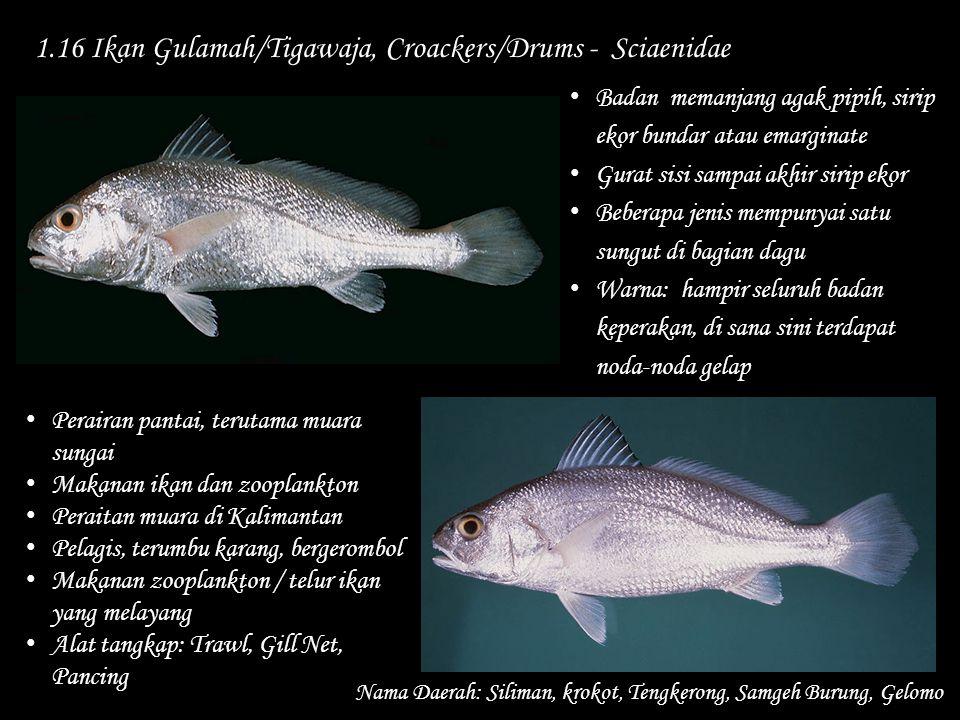 1.16 Ikan Gulamah/Tigawaja, Croackers/Drums - Sciaenidae Nama Daerah: Siliman, krokot, Tengkerong, Samgeh Burung, Gelomo Perairan pantai, terutama mua