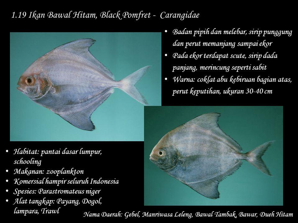1.19 Ikan Bawal Hitam, Black Pomfret - Carangidae Nama Daerah: Gebel, Manriwasa Leleng, Bawal Tambak, Bawar, Dueh Hitam Habitat: pantai dasar lumpur,