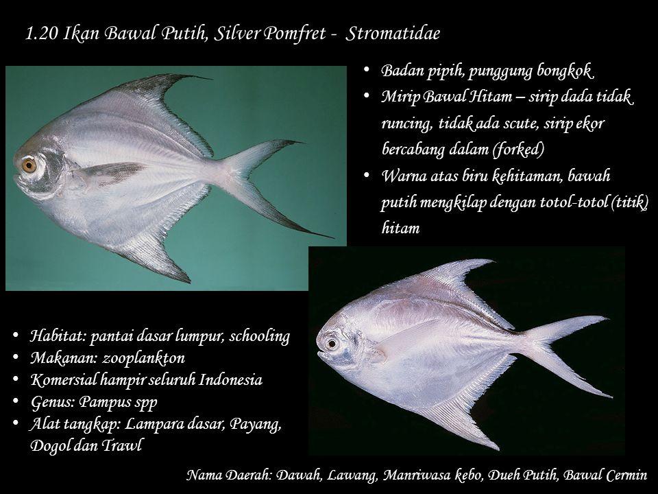 1.20 Ikan Bawal Putih, Silver Pomfret - Stromatidae Nama Daerah: Dawah, Lawang, Manriwasa kebo, Dueh Putih, Bawal Cermin Habitat: pantai dasar lumpur,