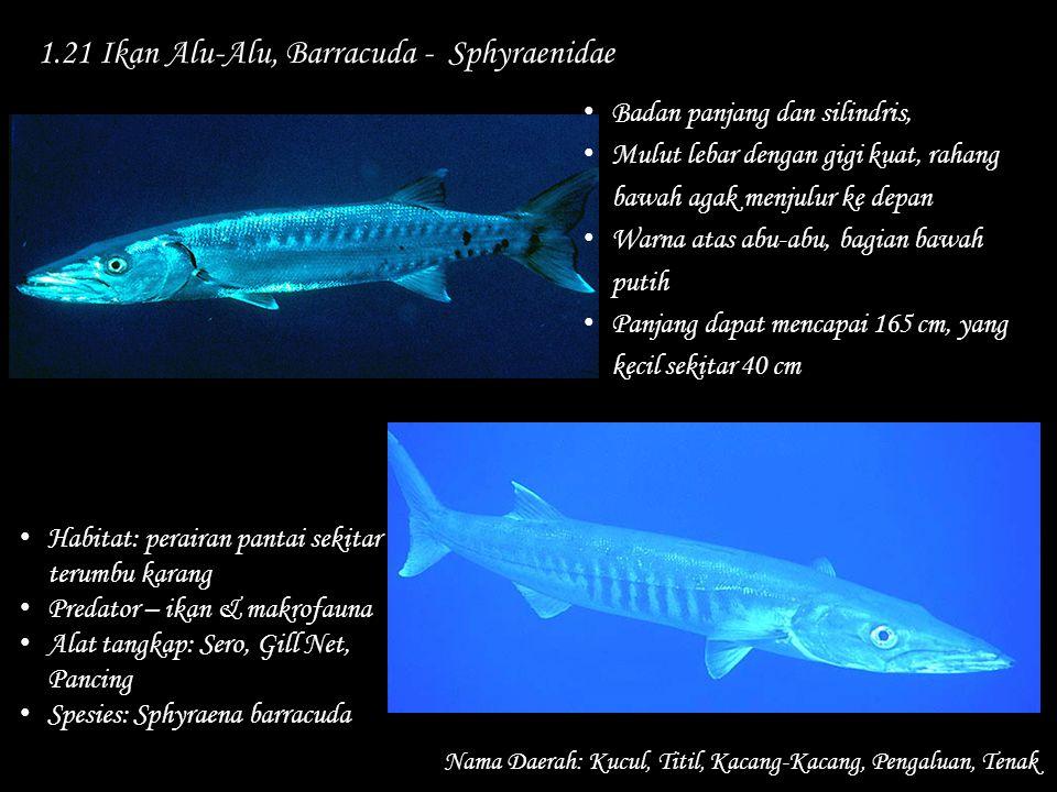 1.21 Ikan Alu-Alu, Barracuda - Sphyraenidae Nama Daerah: Kucul, Titil, Kacang-Kacang, Pengaluan, Tenak Habitat: perairan pantai sekitar terumbu karang