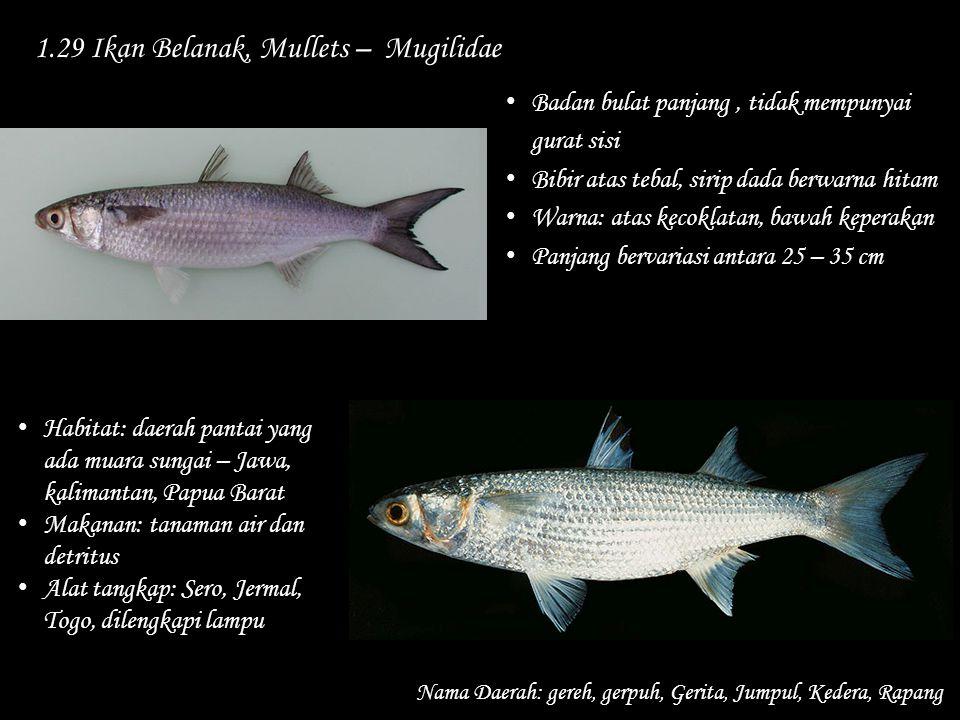 1.29 Ikan Belanak, Mullets – Mugilidae Nama Daerah: gereh, gerpuh, Gerita, Jumpul, Kedera, Rapang Habitat: daerah pantai yang ada muara sungai – Jawa,