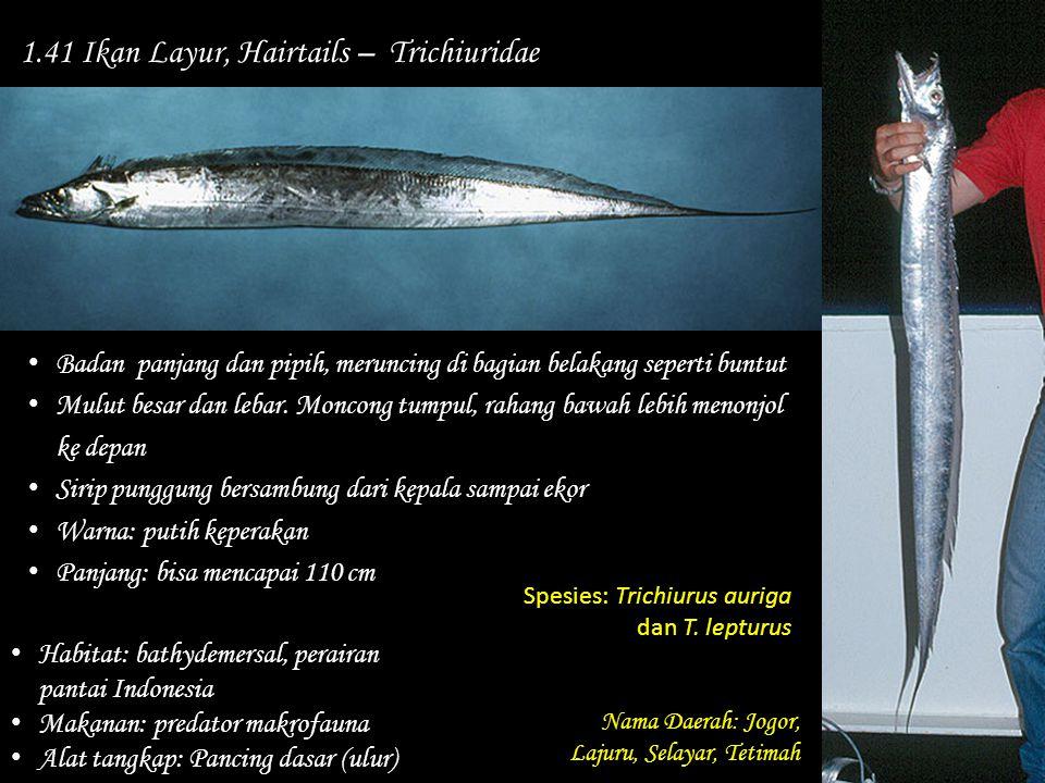 1.41 Ikan Layur, Hairtails – Trichiuridae Nama Daerah: Jogor, Lajuru, Selayar, Tetimah Habitat: bathydemersal, perairan pantai Indonesia Makanan: pred
