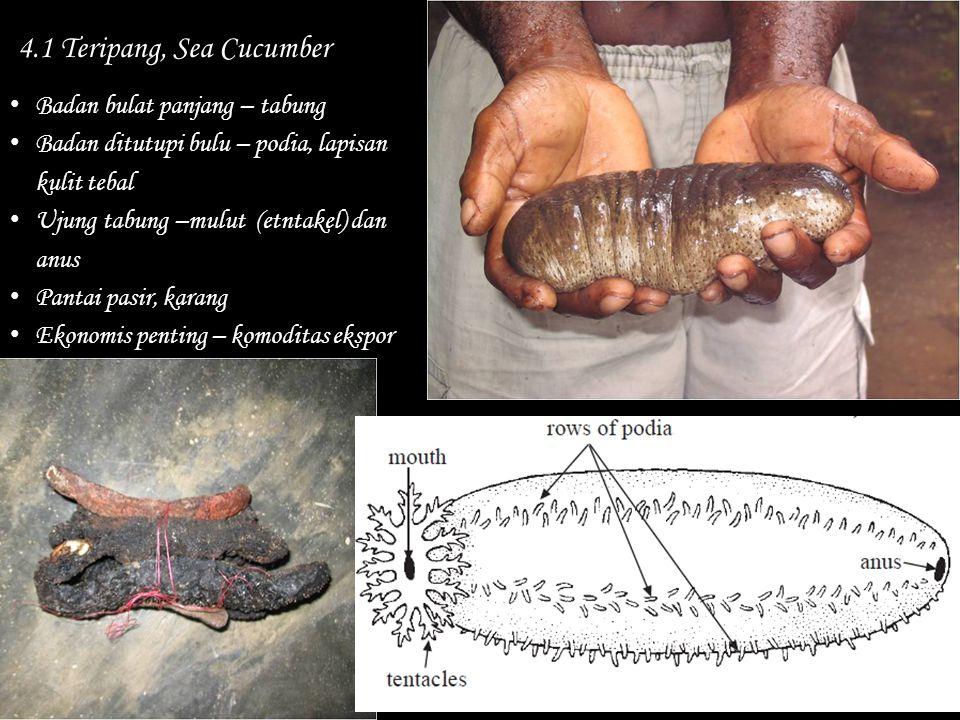 4.1 Teripang, Sea Cucumber Badan bulat panjang – tabung Badan ditutupi bulu – podia, lapisan kulit tebal Ujung tabung –mulut (etntakel) dan anus Panta
