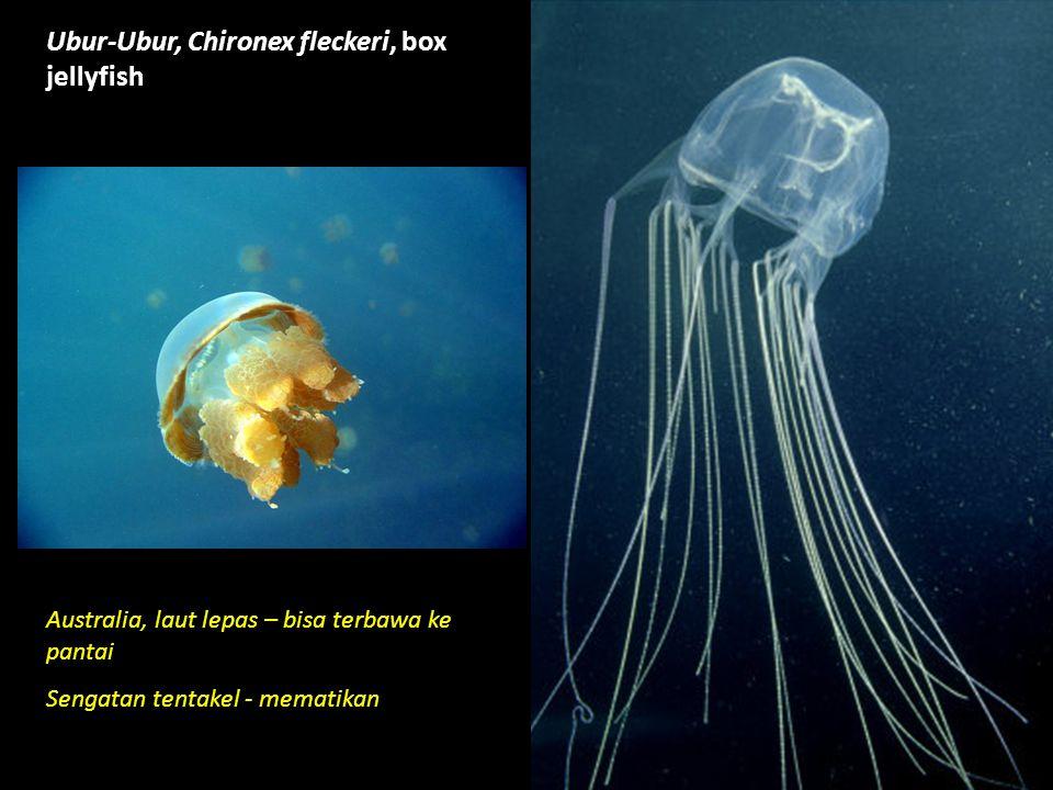 Ubur-Ubur, Chironex fleckeri, box jellyfish Australia, laut lepas – bisa terbawa ke pantai Sengatan tentakel - mematikan