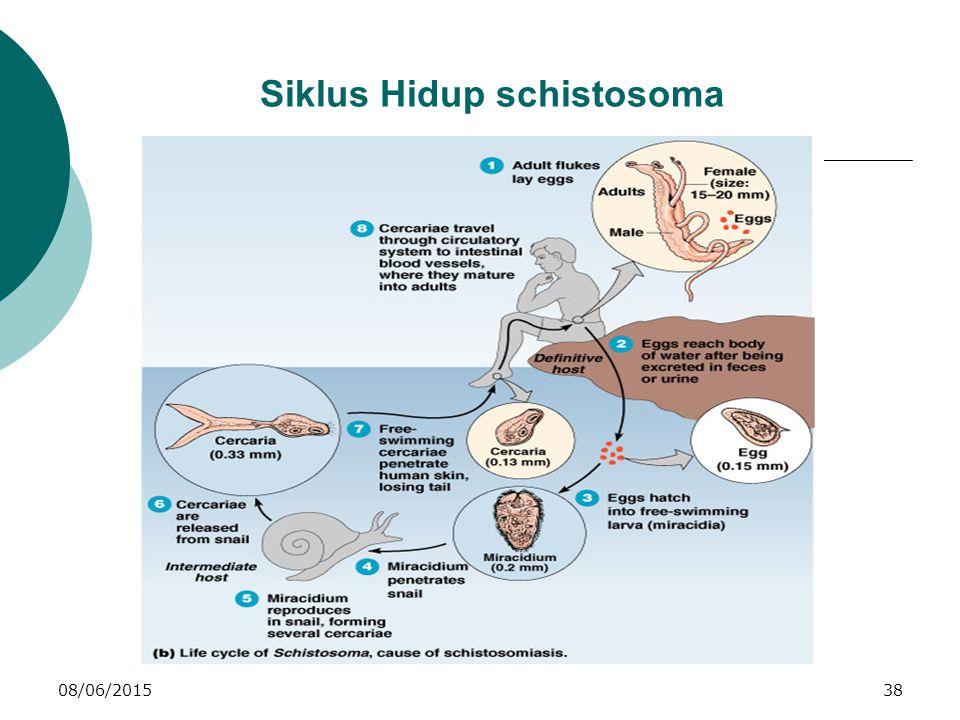 08/06/201538 Siklus Hidup schistosoma