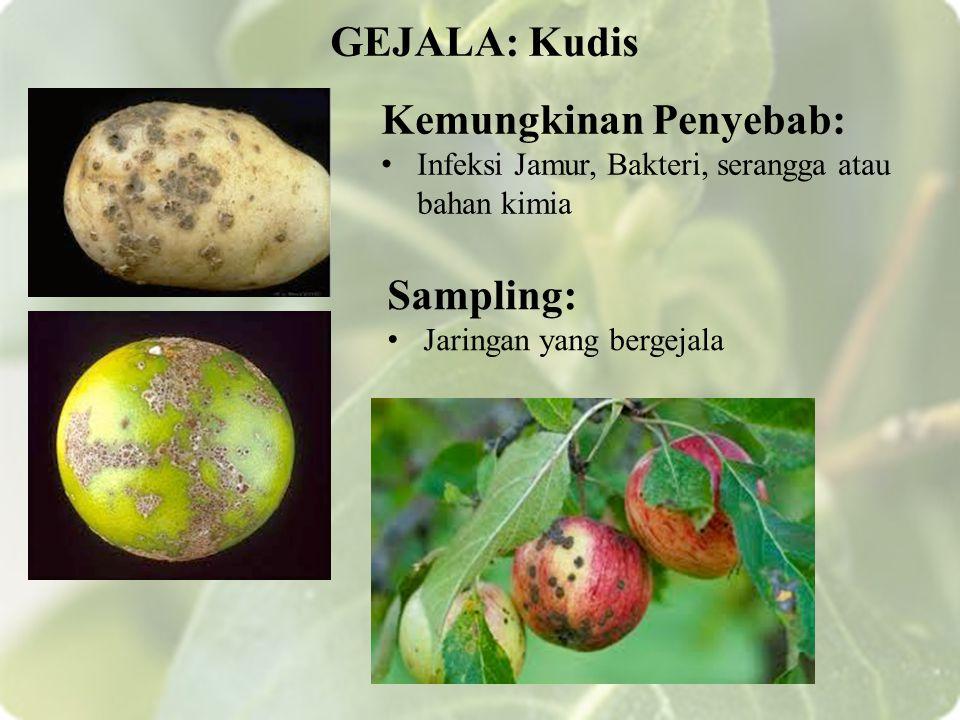 Kemungkinan Penyebab: Infeksi Jamur, Bakteri, serangga atau bahan kimia GEJALA: Kudis Sampling: Jaringan yang bergejala