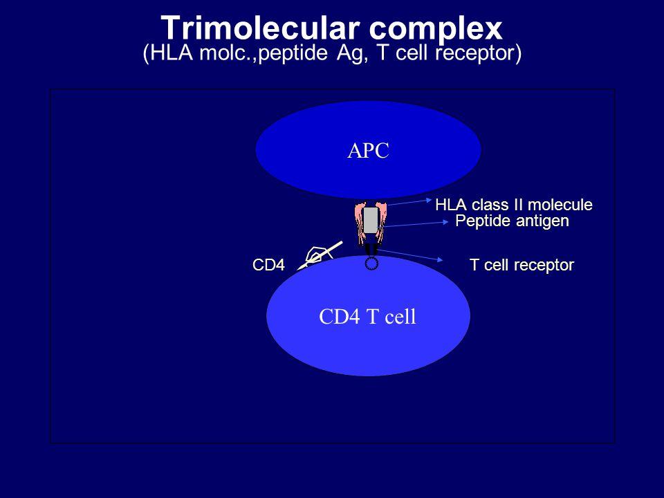 Trimolecular complex (HLA molc.,peptide Ag, T cell receptor) HLA class II molecule Peptide antigen CD4  T cell receptor APC CD4 T cell 