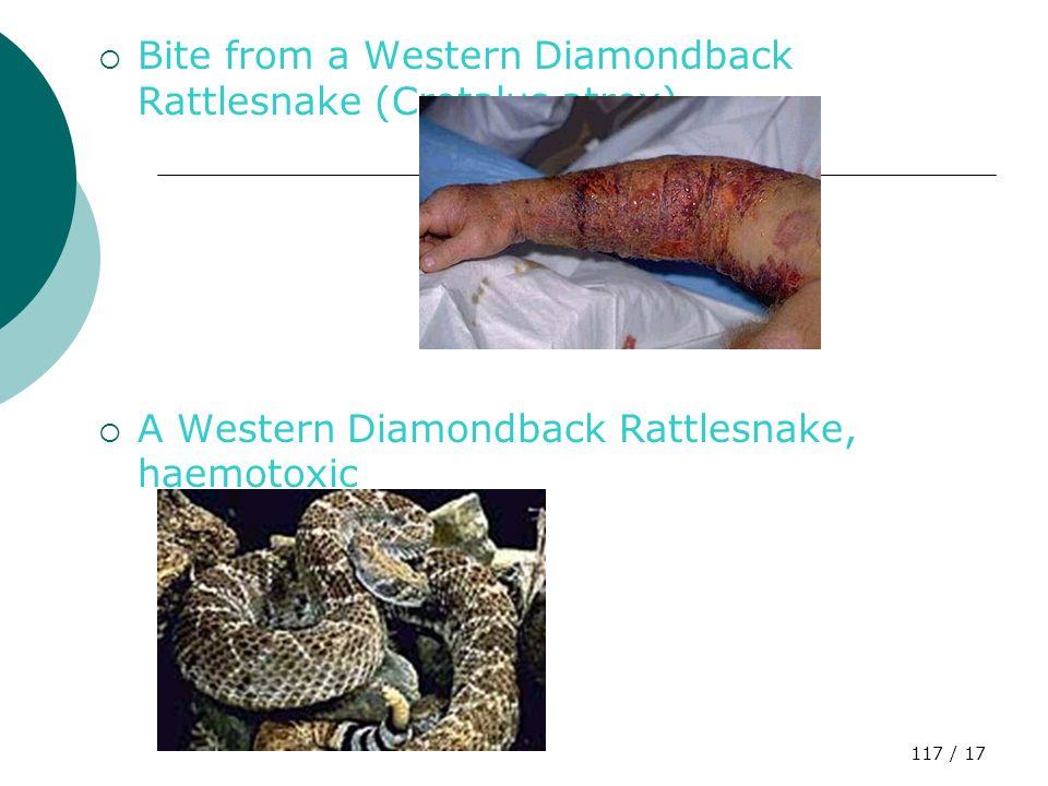 116 / 17 Eyelash Viper (Bothriechis schlegeli)  Haemotoxic  Menyerang sel darah