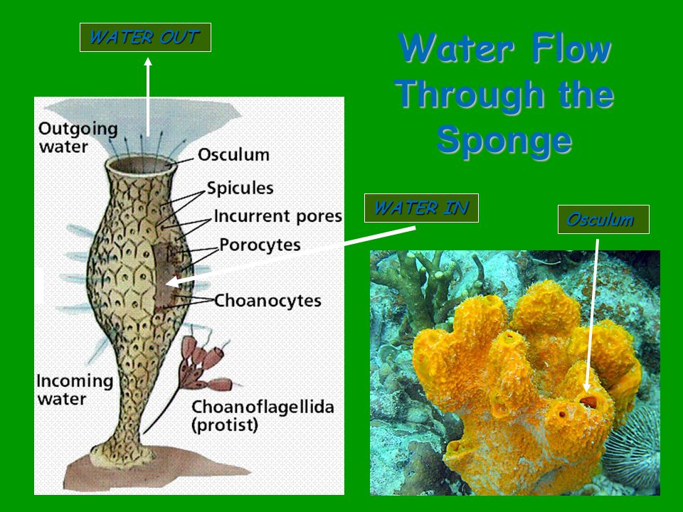 Water Flow Through the Sponge WATER IN WATER OUT Osculum