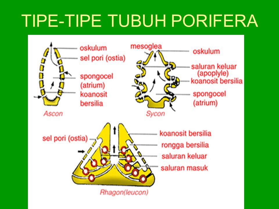 TIPE-TIPE TUBUH PORIFERA