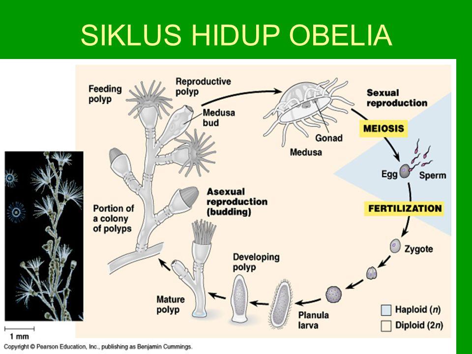 SIKLUS HIDUP OBELIA