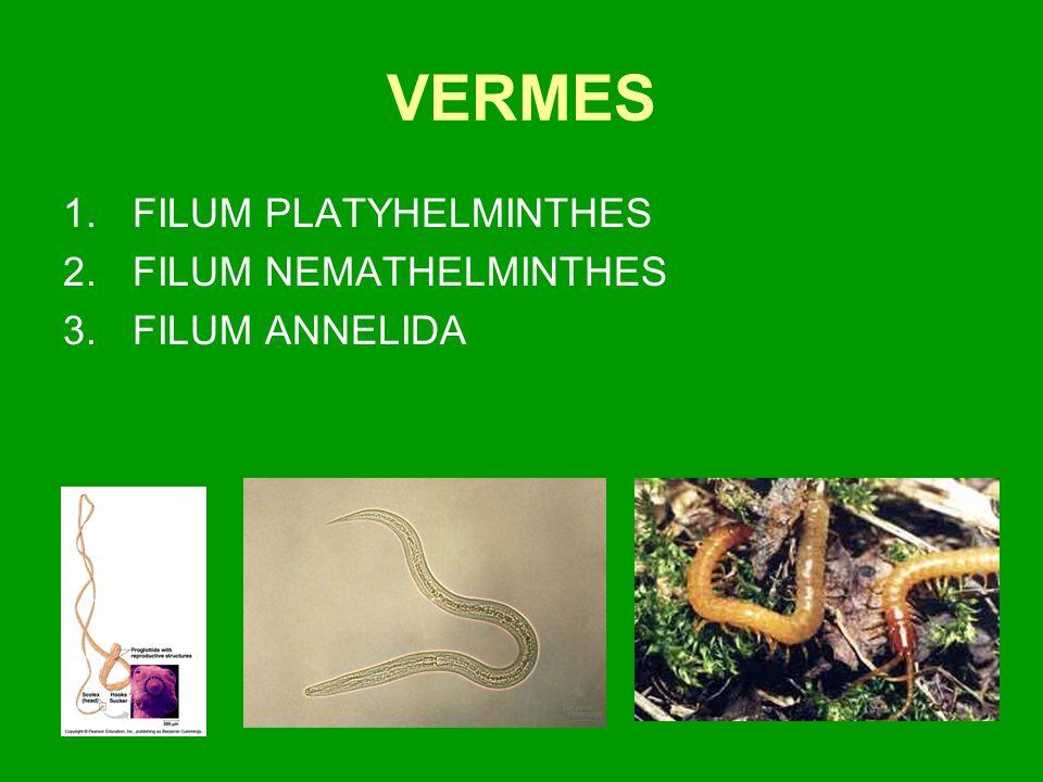 VERMES 1.FILUM PLATYHELMINTHES 2.FILUM NEMATHELMINTHES 3.FILUM ANNELIDA