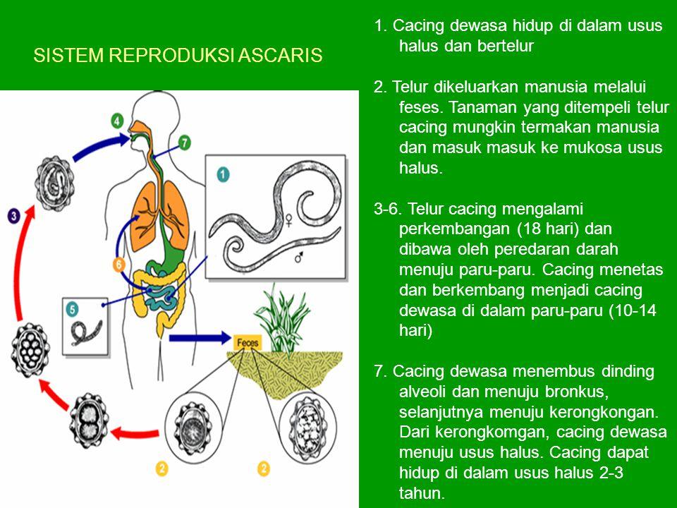 SISTEM REPRODUKSI ASCARIS 1. Cacing dewasa hidup di dalam usus halus dan bertelur 2. Telur dikeluarkan manusia melalui feses. Tanaman yang ditempeli t