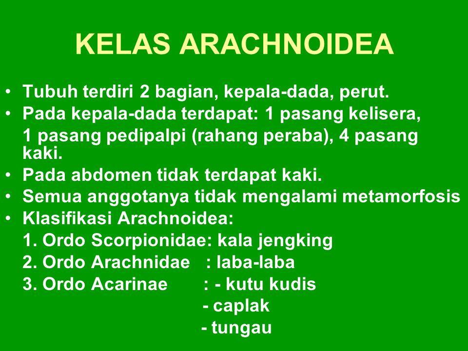 KELAS ARACHNOIDEA Tubuh terdiri 2 bagian, kepala-dada, perut. Pada kepala-dada terdapat: 1 pasang kelisera, 1 pasang pedipalpi (rahang peraba), 4 pasa