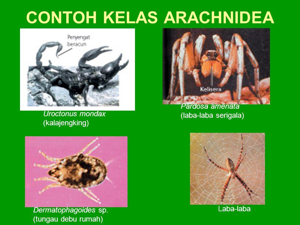 CONTOH KELAS ARACHNIDEA Pardosa amenata (laba-laba serigala) Laba-laba Dermatophagoides sp. (tungau debu rumah) Uroctonus mondax (kalajengking)