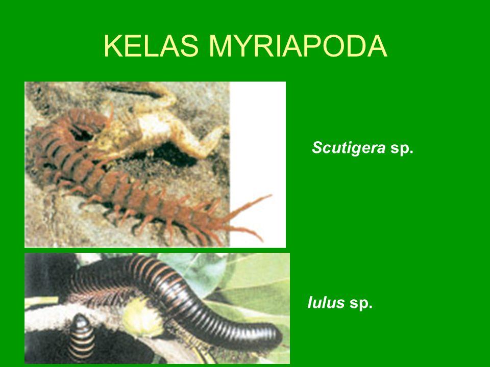 KELAS MYRIAPODA Iulus sp. Scutigera sp.