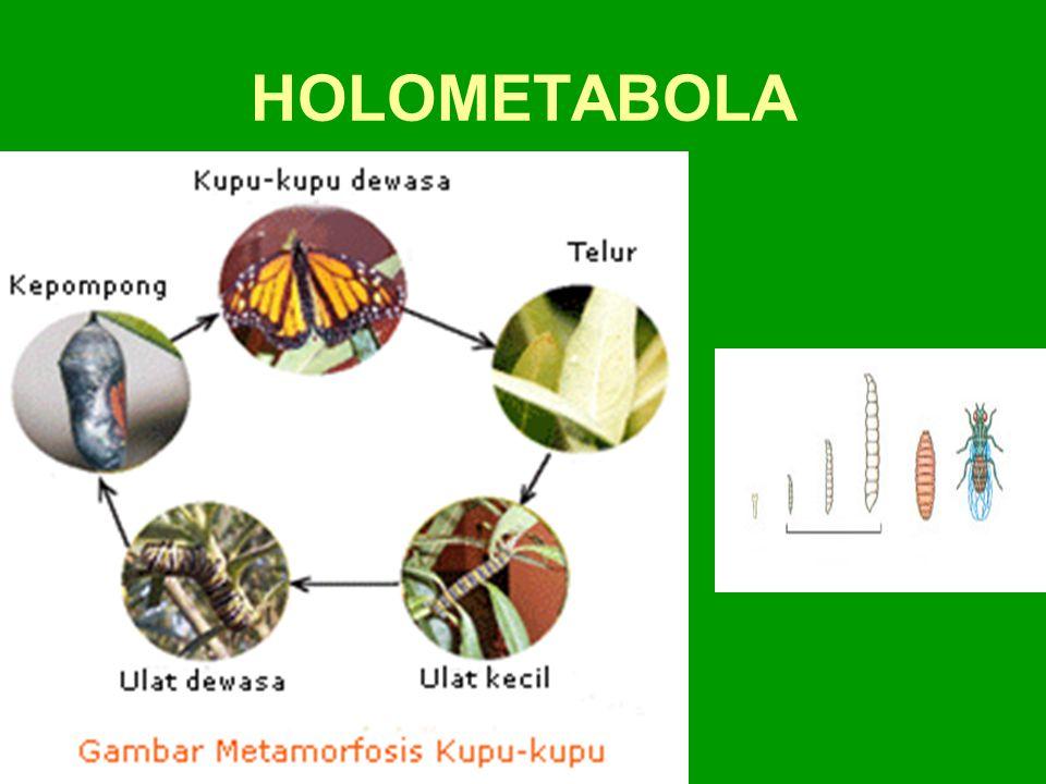 HOLOMETABOLA