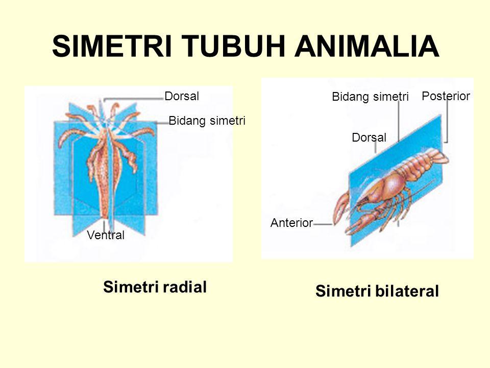 SIMETRI TUBUH ANIMALIA Simetri radial Simetri bilateral Dorsal Bidang simetri Ventral Posterior Bidang simetri Dorsal Anterior
