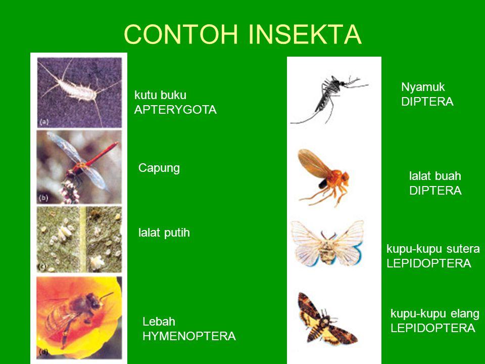 CONTOH INSEKTA kutu buku APTERYGOTA Capung lalat putih Lebah HYMENOPTERA Nyamuk DIPTERA lalat buah DIPTERA kupu-kupu sutera LEPIDOPTERA kupu-kupu elan