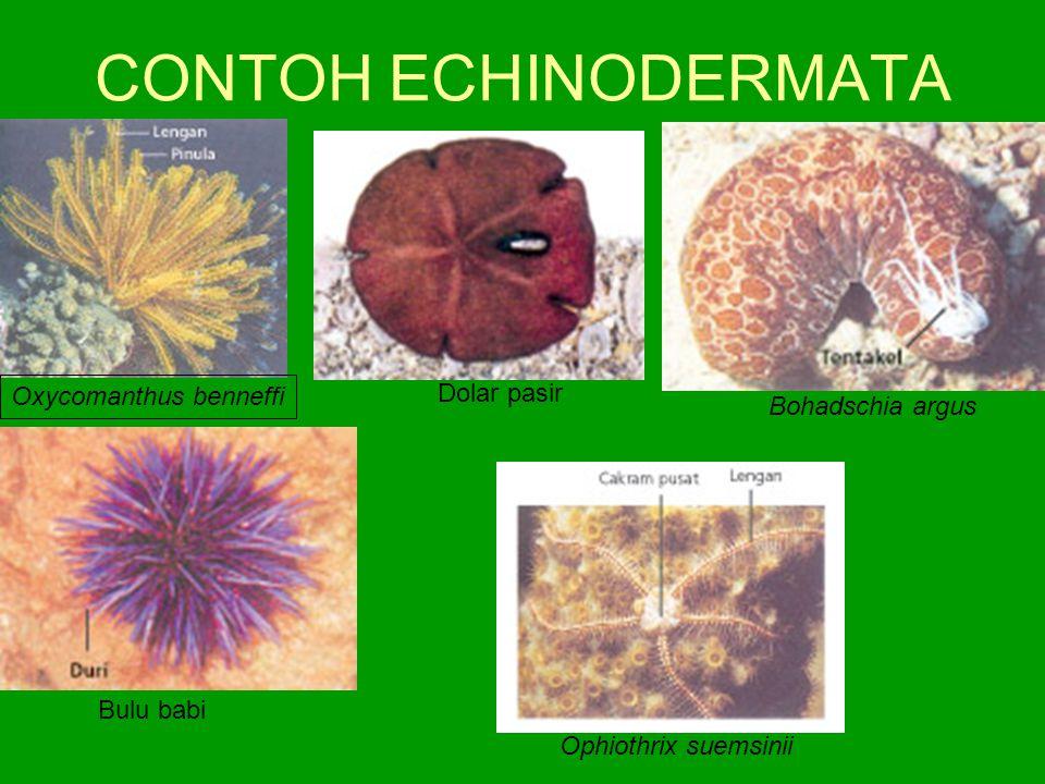 CONTOH ECHINODERMATA Oxycomanthus benneffi Bulu babi Bohadschia argus Dolar pasir Ophiothrix suemsinii