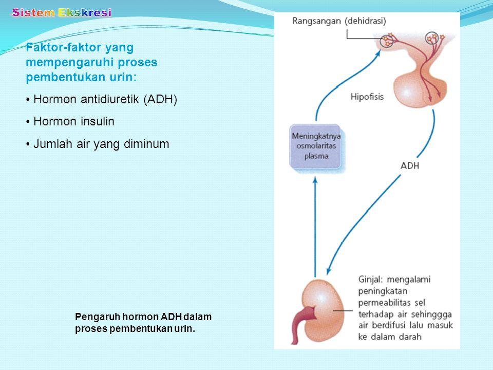 Pengaruh hormon ADH dalam proses pembentukan urin. Faktor-faktor yang mempengaruhi proses pembentukan urin: Hormon antidiuretik (ADH) Hormon insulin J