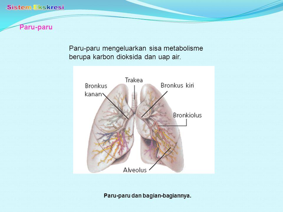 Paru-paru Paru-paru dan bagian-bagiannya. Paru-paru mengeluarkan sisa metabolisme berupa karbon dioksida dan uap air.