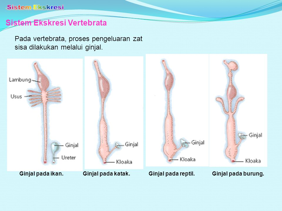 Sistem Ekskresi Vertebrata Pada vertebrata, proses pengeluaran zat sisa dilakukan melalui ginjal. Ginjal pada ikan.Ginjal pada reptil.Ginjal pada buru