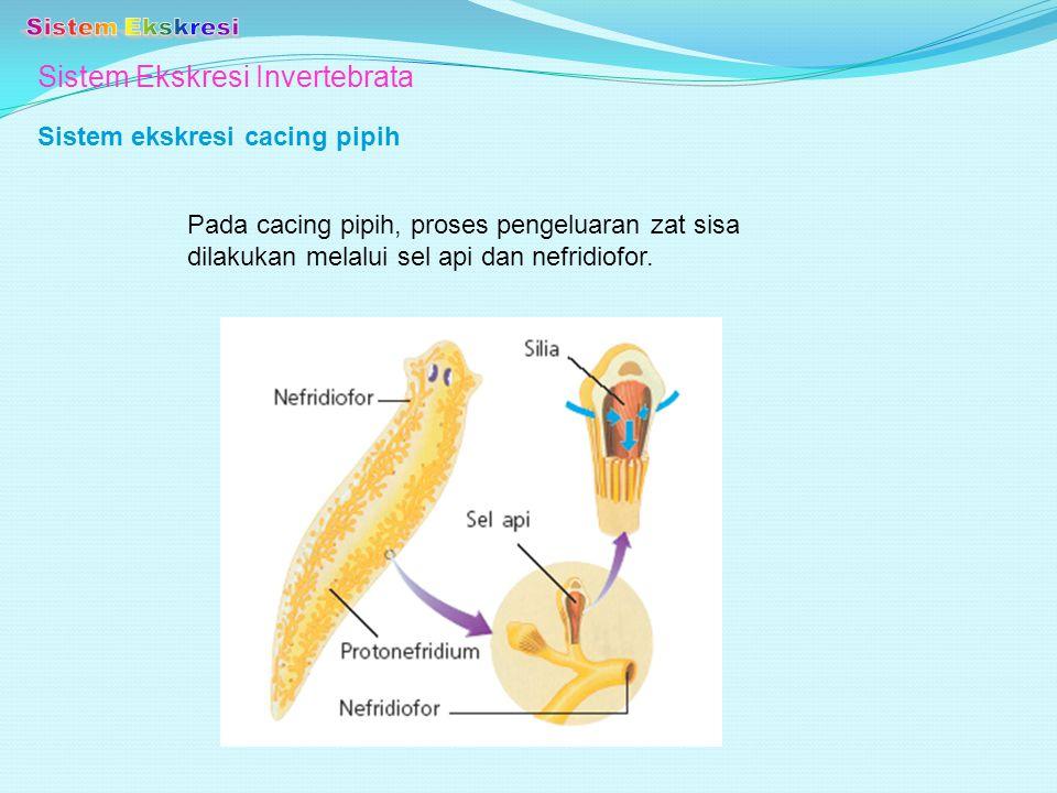 Sistem Ekskresi Invertebrata Sistem ekskresi cacing pipih Pada cacing pipih, proses pengeluaran zat sisa dilakukan melalui sel api dan nefridiofor.