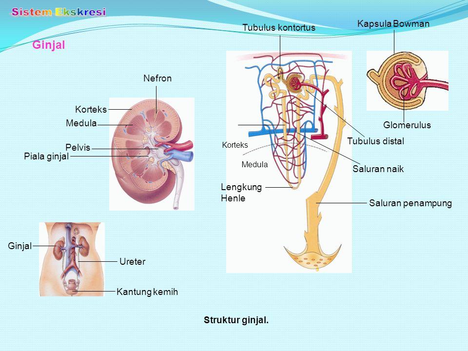 Ginjal Struktur ginjal. Kantung kemih Ureter Ginjal Piala ginjal Pelvis Medula Korteks Nefron Saluran penampung Lengkung Henle Saluran naik Tubulus di