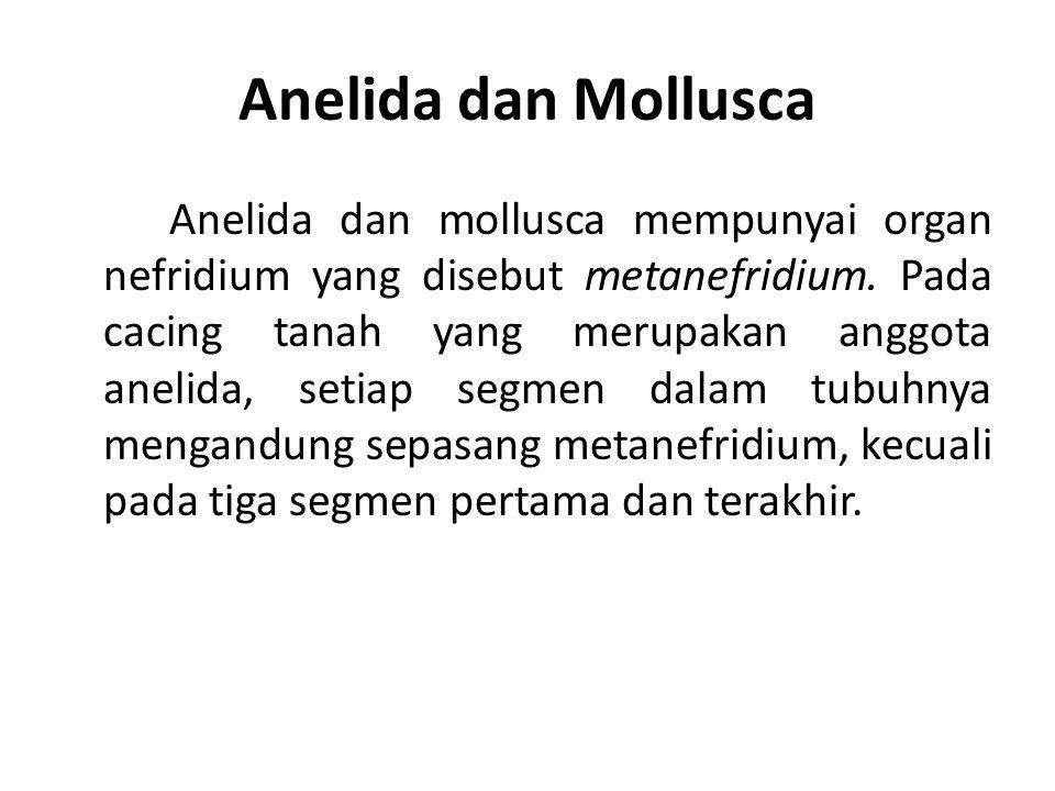 Anelida dan Mollusca Anelida dan mollusca mempunyai organ nefridium yang disebut metanefridium. Pada cacing tanah yang merupakan anggota anelida, seti