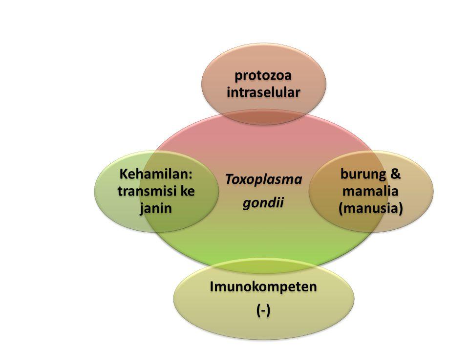 Toxoplasma gondii protozoa intraselular burung & mamalia (manusia) Imunokompeten (-) Kehamilan: transmisi ke janin